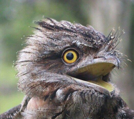 Tawny Frogmouth bird, Eungella