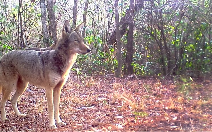Camera trap video footage shows wild red wolves in eastern North Carolina. Red wolves were reintroduced to NC in 1987 after being removed from the wild for safekeeping in the 1970's. The US Fish and Wildlife Service recently announced a plan to pull the remaining wild red wolves back to only federal lands in Dare County, a reduction from the current 5-county recovery area.