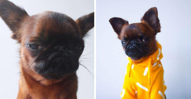 Gizmo es un perro pug que habita en San Francisco. Él es el pug más gruñón y famoso de todos. Y tiene 88 mil seguidores en instagram, conócelo.