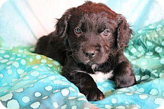 Hagerstown, MD - Labrador Retriever/Havanese Mix. Meet Pierre, a puppy for adoption. http://www.adoptapet.com/pet/17482387-hagerstown-maryland-labrador-retriever-mix