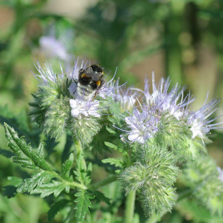 Bijenvoer (Phacelia tanacetifolia). DE: Bienenweide. EN: Lacy phacelia