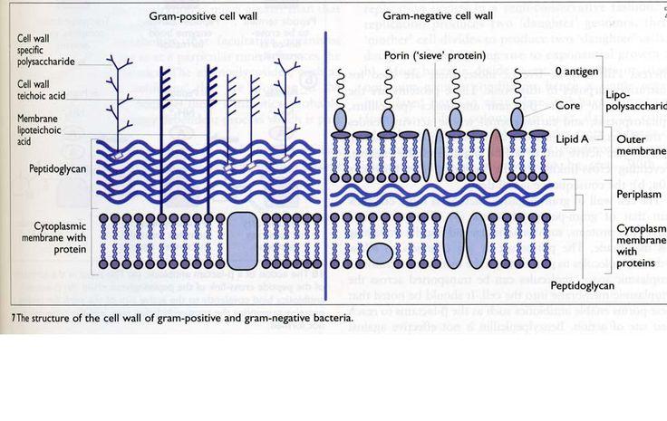 Gram-positive vs. gram-negative bacteria | Bacteria / Media / of ...