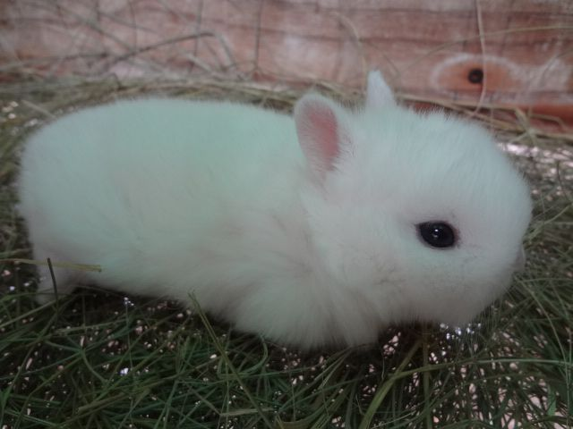 Cute little Netherland Dwarf Bunny