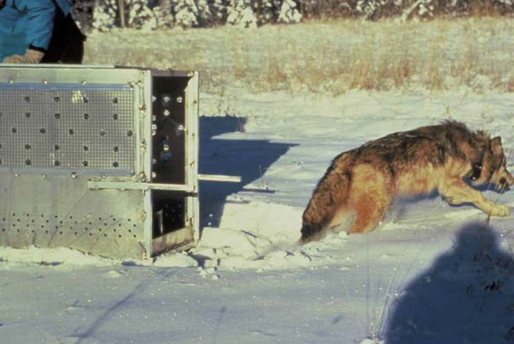 The U.S. Fish and Wildlife Service (Service) and the Arizona Game and Fish Department (AGFD) have initiated actions for the release of two Mexican wolves in Arizona to replace wolves illegally shot, as directed by the Arizona Game and Fish Commission in 2012 and to increase the genetic diversity of the wild population.