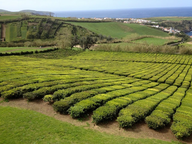 Pineapples, teas and hot springs in the Azores