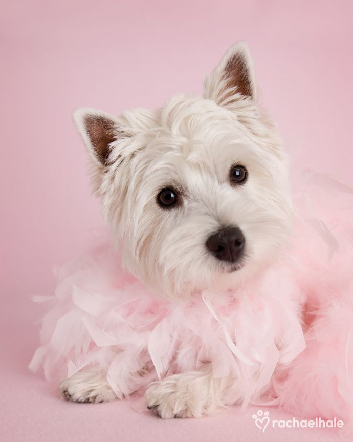 Ella (Westhighland Terrier) - Puppy love… as soft as a feather