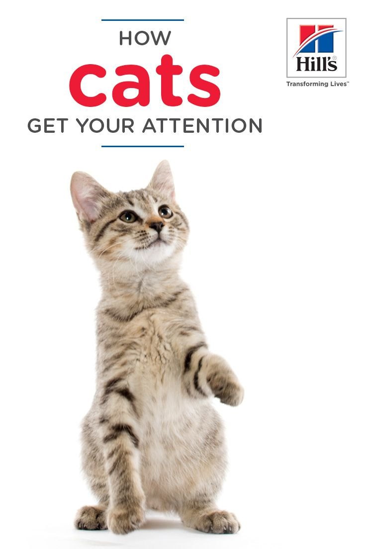 When A Cat Wants Attention She Ll Pull Out All The Stops Until She Gets What She Wants And Although Yours Has Her Own Personality Cat Behavior Cats Cat Care