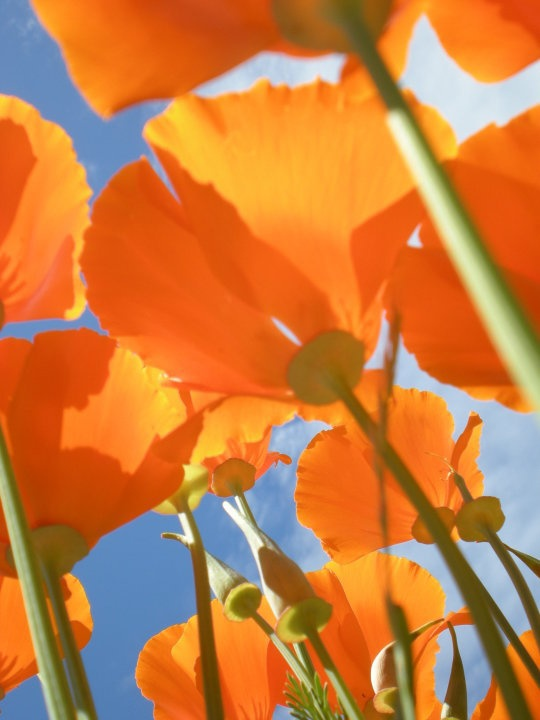 California PoppyOrange Prosperity, California Poppies, Beautiful Flower, Art Style, Art Flower, Girls Room, Flower Power, Flower Photography, Photography Ideas