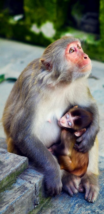 Monkeys in Nepal...wish we were so accepting of human mothers breastfeeding in public as well