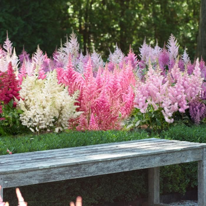 Astilbe Assorted Landscape Size. These easy, summer-blooming perennials have attractive, fern-like foliage and brilliant, midsummer flowers that attract butterflies. Good for sun or shade.