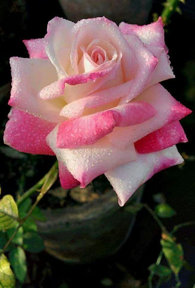 gardenia mie old rose marron