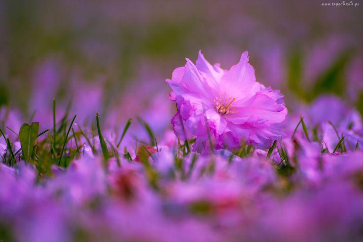 Różowe, Kwiaty, Trawa, Makro