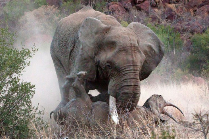 An elephant flips a black rhino onto its back during a violent battle between the pair in South Africa. Amateur photographer Louis Kok and his wife Marthie were stunned to watch the peaceful scene transform into a fight as the bull elephant attacked the protective rhino mother. Picture: Louis & Marthie Kok / Barcroft Media