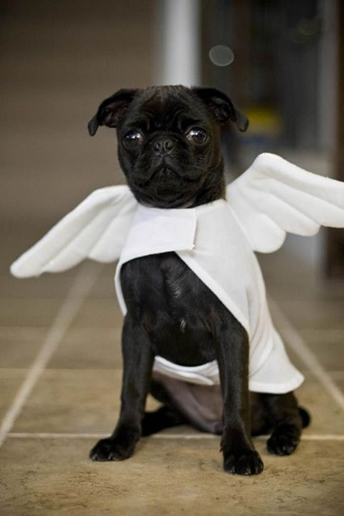 How #cute is this #Pug Angel? ・・・ www.jointhepugs.com