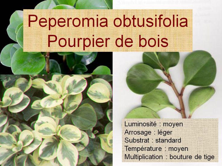 Peperomia obtusifolia Pourpier de bois