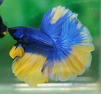 Blue and yellow betta fish - photo#5