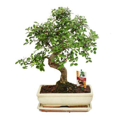 15 best images about bonsai on pinterest leaves. Black Bedroom Furniture Sets. Home Design Ideas