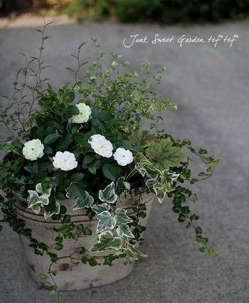 ミニバラ「グリーンアイス」をメインに、斑入りのものなどのグリーンが美しい寄せ植えに。