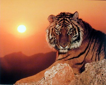 Simply Stunning! Add a sense of calm to any room with this wall décor poster. This wall poster captures the image of beautiful sunset, wild tiger looking at you with his big brown eyes is sure to grab lot of attention and complement any room in your home. Tigers have an average lifespan of 12 years. This wall poster goes with all décor style and adds a distinctive unique style to your home. Perfect addition for any wild animal lover. The durable quality with perfect color accuracy ensures…