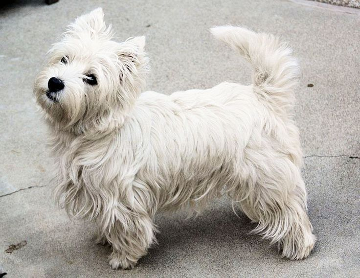 Westie Dogs For Sale In Ontario