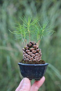 Japanese pine cone Bonsa - Plantado na própria pinha.