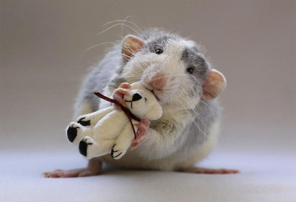 Yes.  This is a picture of a rat with a teddy bear.  And I am still trying to wrap my brain around the cat fetish. Via Motilo