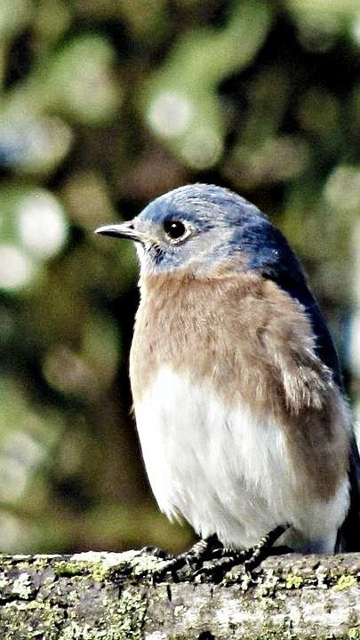 blue bird in my backyard (my own photography)  www.adayinthelifeofjennay.wordpress.com