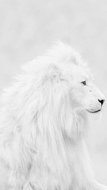 A beautiful White Lion. Who wouldn't want to snuggle with him?