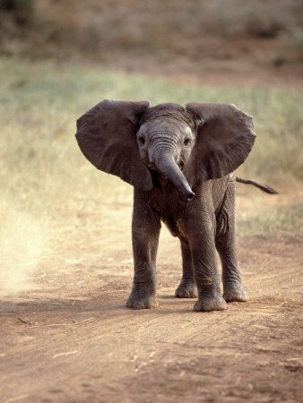 Elephants cry real tears, show excitement when reuniting with lost herd members, and mourn when it's members die. They truly melt my heart.