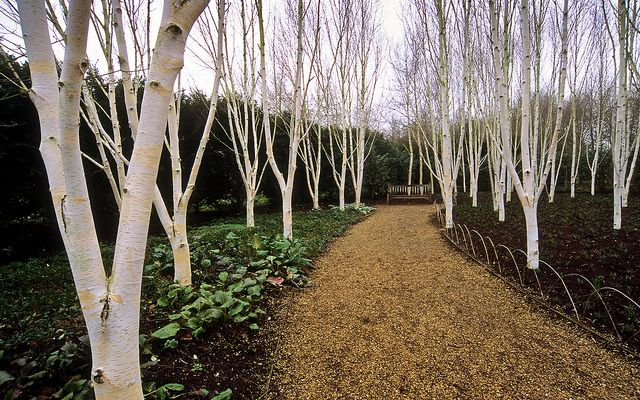 Anglesey Abbey Winter Gardens (National Trust), Cambridgeshire, UK | A garden designed for vibrant winter colours and interest (8 of 9) | Grove of white barked Himalayan Birch Trees by ukgardenphotos, via Flickr