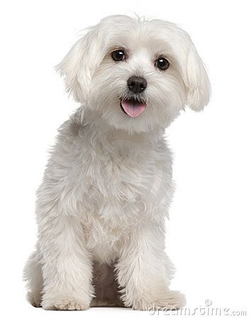 maltese puppy cut pictures 1000 images about maltese cuts on pinterest cut 9982