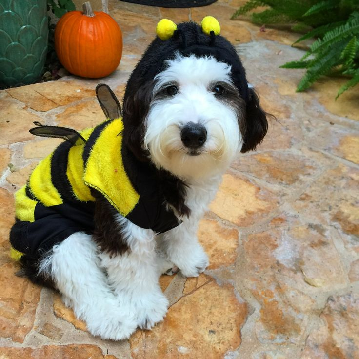 17 Best Images About Mini Sheepadoodle Cleo Pawtra On