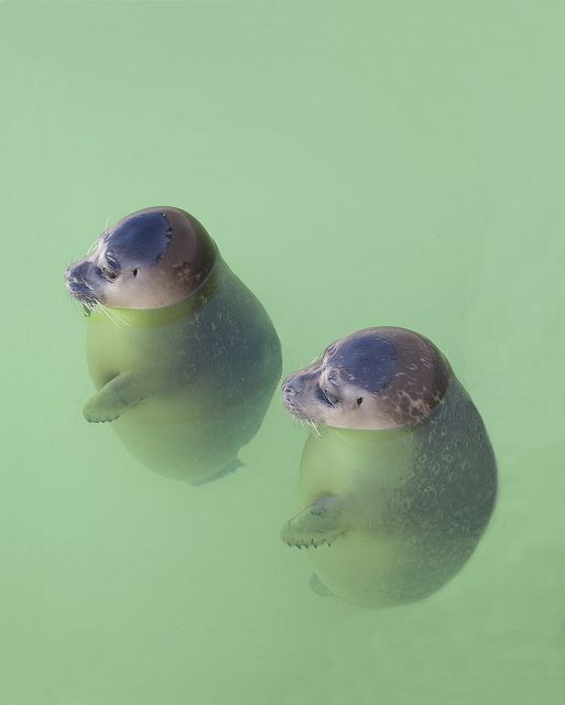 Orphaned baby seals ~ Texel Island, The Netherlands