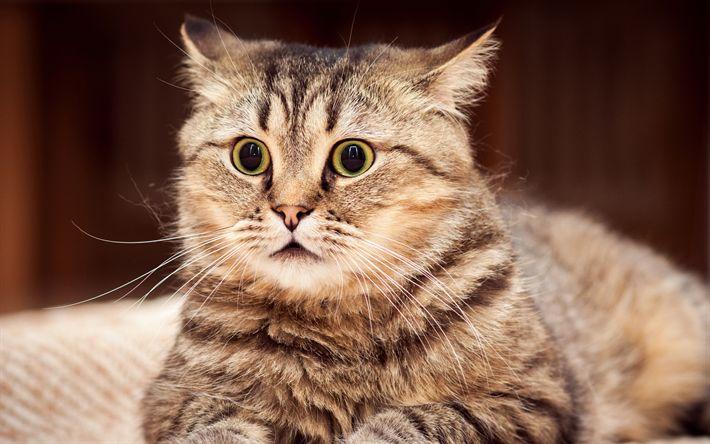 Download wallpapers Cymric Cat, 4k, muzzle, pets, cute animals, cats, domestic cat, Cymric