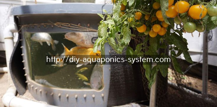 green acre aquaponics - mini aquaponics system aquarium.aquaponics bed 9584086490