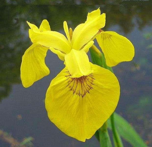 Iris pseudacorus (kosaciec żółty) - Rośliny wodne, Lilie wodne | Sklep