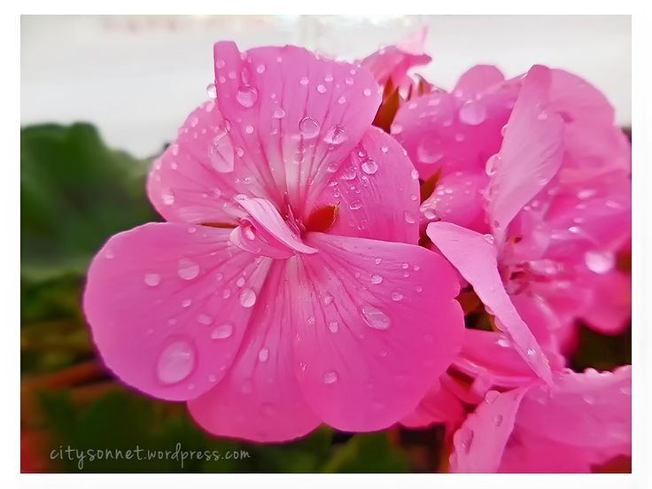 Geranium flower petals with raindrops, shining happiness The raindrops beading…