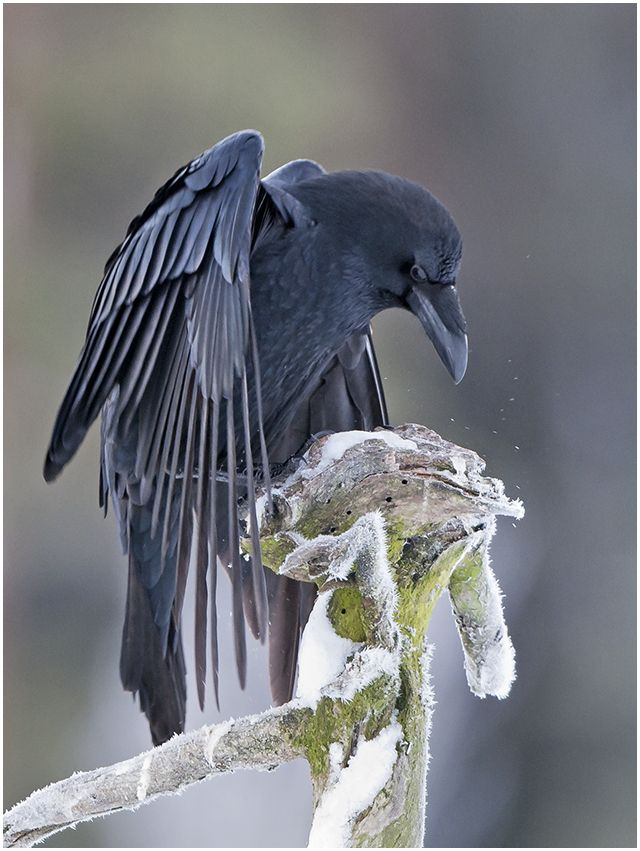 """There is wisdom in a raven's head."" : Photo"