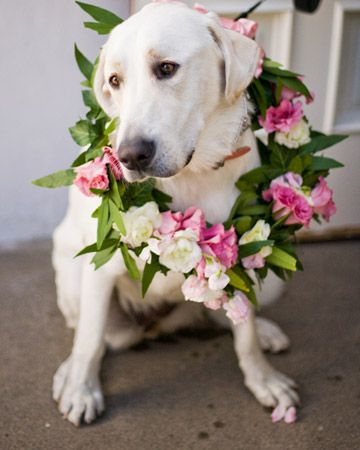 A floral wreath for zuzu, designated flowerdog! #LillyPulitzer #SouthernWeddings: Pet, Yellow Labs, Labs Dogs, Sweetheart Tables, Wedding Dogs, Flower Girls, Floral Wreaths, Labrador Dogs, Animal