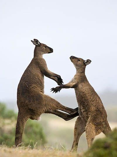 Canguro australiano. Los canguros son los únicos animales grandes que se desplazan dando saltos, pues debido al largo de sus pies, no pueden caminar correctamente. Para moverse a velocidades bajas, usan sus colas como un trípode, junto con sus patas delanteras. Pero sus saltos, son un modo de locomoción rápido, pudiendo alcanzar hasta 79 Km/h.