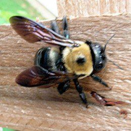 The 25 Best Carpenter Bee Ideas On Pinterest
