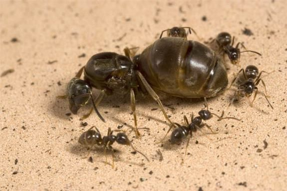 "Queen Ants Will Sacrifice Colony to Retain Throne...A mighty struggle for ultimate power, with calls of ""death to the queen"" answered by armies of workers, is routine in some ant colonies. Queen ants are therefore sometimes forced to take care of themselves rather than look out for the good of their colonies, a new study suggests.  Queen ants will do whatever it takes to be the last one standing, even if it means producing fewer young workers to the detriment of the collective."