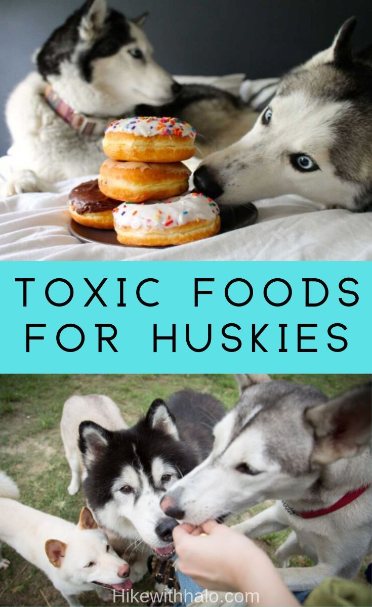 Dangerous Human Foods For Siberian Husky Dogs Dog Food Recipes