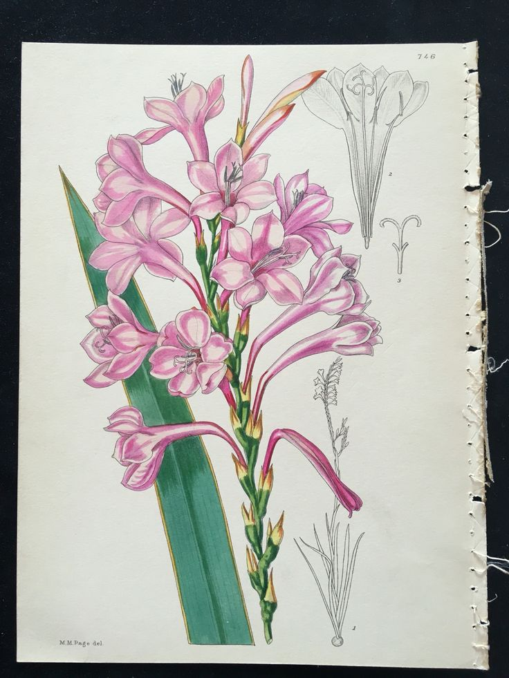 Hand coloured botanical, c1930 from Wild Flowers of South Africa