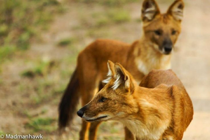 Wild dogs in the jungles of Pench