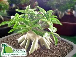 baobab bonsai eco Products - Google Search
