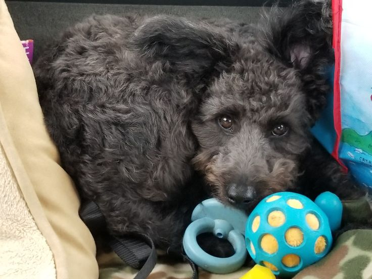 Our rescue, thinking maybe Schnoodle??