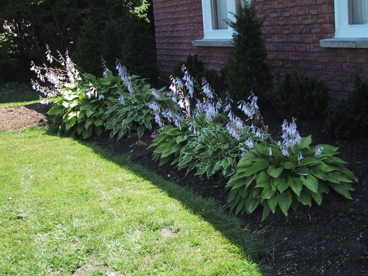 hostas  small bush  many different kinds  flowers once a year  need shade  winterize  cover with