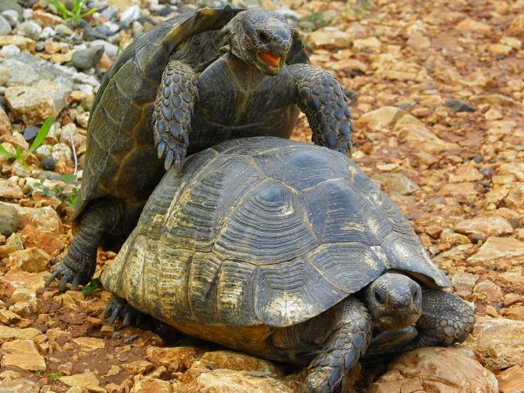 Twee schildpadden in de buurt van Marmaris, Turkije  #turtle #love #marmaris #turkije #turkey