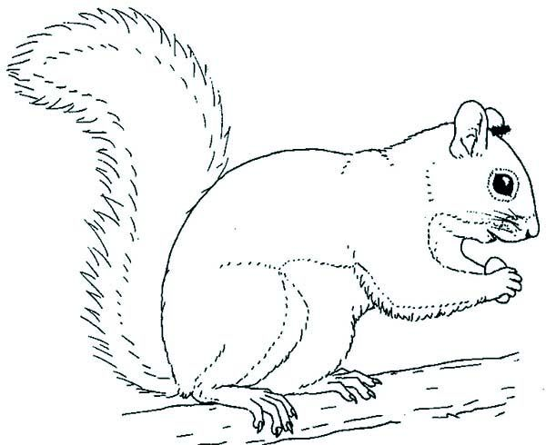 Squirrel Coloring Pages 19 Forest Squirrel coloring
